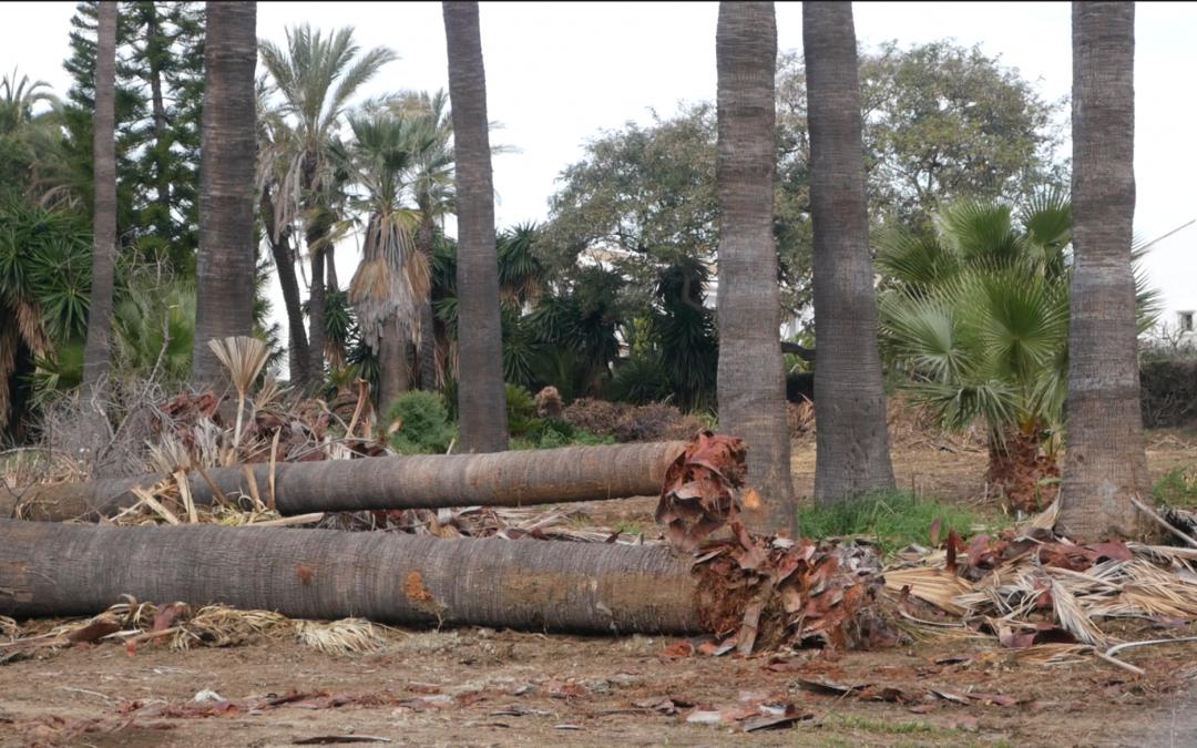OSP denuncia la reciente tala de palmeras en San Pedro Alcántara y la desastrosa gestión del Equipo de Gobierno en el cuidado del arbolado urbano.
